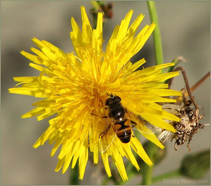 Обыкновенное чудо : Конец сентября, одуванчики и пчелы... Глупость или жизнелюбие? (Фотограф Дмитрий Новоженов)