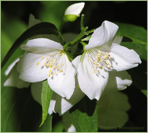 Иван-да-Марья : Природа не терпит одиночества, два цветка, два человека (Фотограф Дмитрий Новоженов)