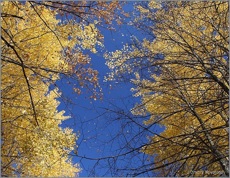 Золото на голубом : Неба синь в тонком кружеве ветвей и золото на голубом. (Фотограф Дмитрий Новоженов)